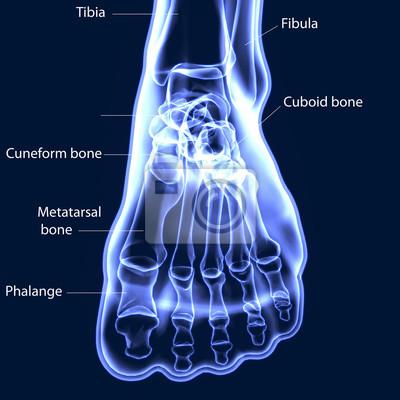 3d abbildung von fuß skelett - teil des menschlichen skeletts ...