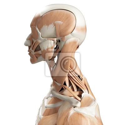 3d gerendert medizinisch genaue darstellung der muskeln des halses ...