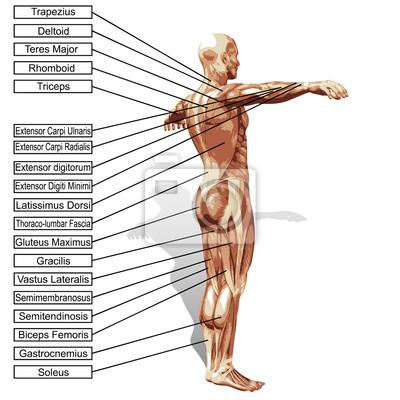 3d mann menschlich anatomie mit muskeln text leinwandbilder • bilder ...
