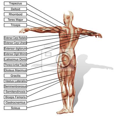 3d menschlichen anatomie mann mit muskeln text leinwandbilder ...