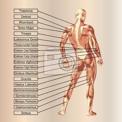 3d menschlichen männlichen anatomie mit muskeln und text ...