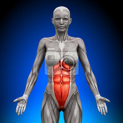 Abs - weibliche anatomie muskeln leinwandbilder • bilder deltoid ...
