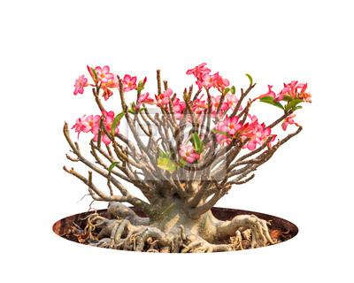 Adenium obesum Baum auch als Desert Rose, Impala Lily, Mock bekannt