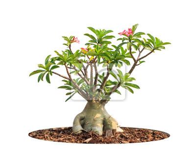 Adenium obesum Baum auch als Wüste Rose, Impala Lily, Mock bekannt