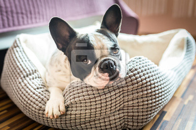Bild Adorable Französisch Bulldog auf dem Lager
