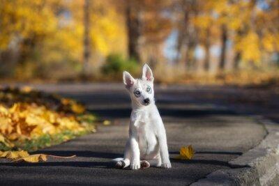 Bild Adorable siberian Husky Welpen sitzen im Freien im Herbst
