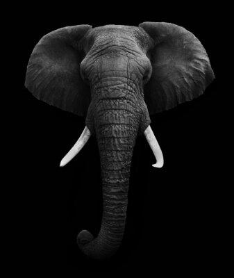 Bild African Elephant isoliert