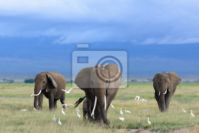 Bild African elephants / Kenya