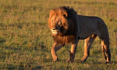 Bild African Lion