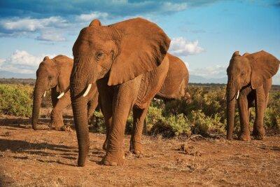 Bild Afrikanischer Elefant Matriarchat gegen einen blauen Himmel