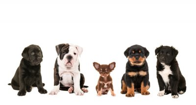 Bild Alle Arten von cute verschiedenen Rasse von Welpen Hunde isoliert auf weißem Hintergrund, als Chihuahua, Rottweiler, Border Collie, Labrador und eine englische Bulldogge