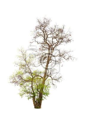 Alte und sterbenden Baum isoliert auf weißem Hintergrund