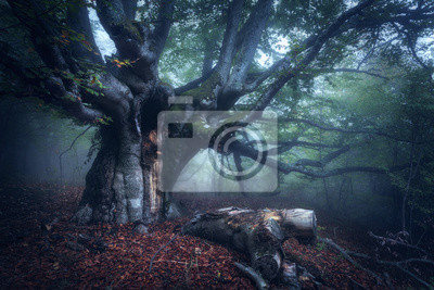 Alter Baum. Wald im Nebel. Herbst Holz. Mystischen Herbst Wald im Nebel in den Morgen. Schöne Landschaft mit Bäumen, Protokoll, bunte Blätter und Nebel. Natur Hintergrund. Nebelwald mit magischer Atmo