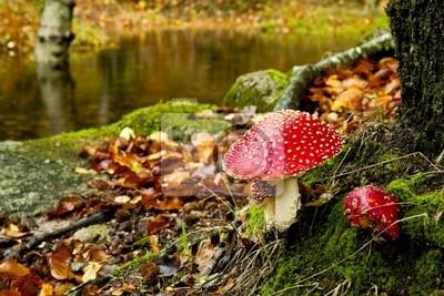 Amanita giftige Pilze