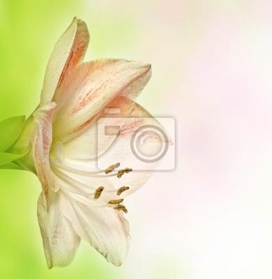 Bild Amaryllis lilia auf Bokeh Hintergrund