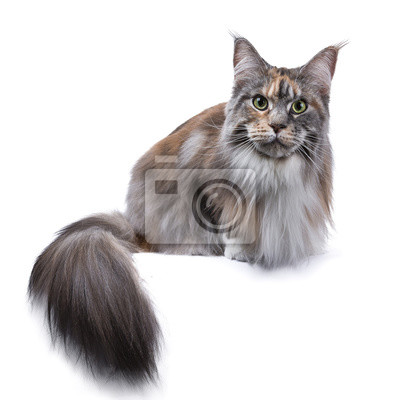 Amerikanische Waldkatze