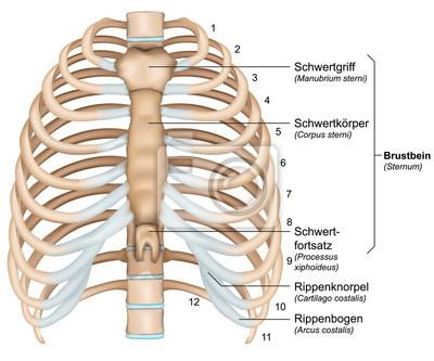 Anatomie brustkorb, rippen mit beschreibung deutsch, latain ...