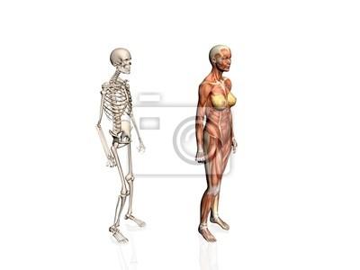Anatomie der frau mit dem skelett. leinwandbilder • bilder ...