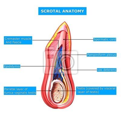 Anatomie der hoden schicht mit namen leinwandbilder • bilder ...