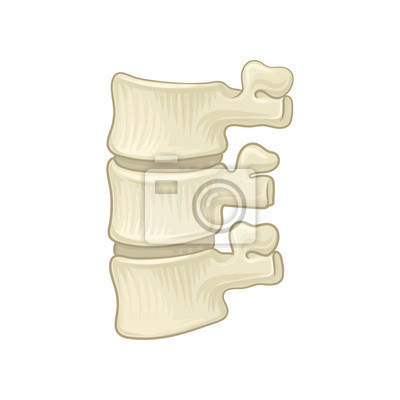 Anatomie der lendenwirbelsäule. teil des menschlichen rückgrats ...