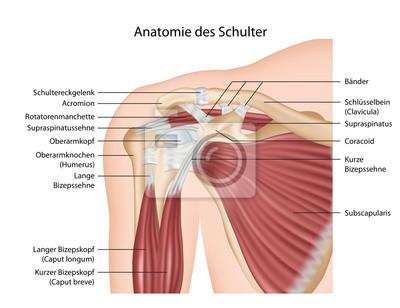 Anatomie der schulter, mit muskeln erklärung deutsch leinwandbilder ...