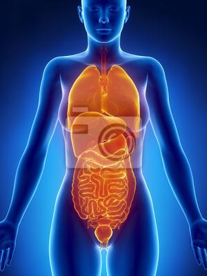 Anatomie der weiblichen organe der röntgen-blick leinwandbilder ...