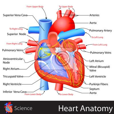 Anatomie des herzens leinwandbilder • bilder pulmonalen, Atrium ...