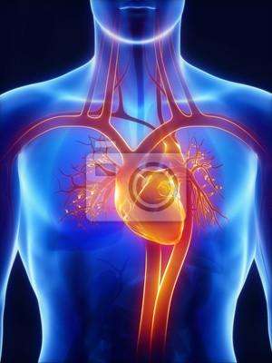 Anatomie des kreislaufsystems leinwandbilder • bilder Atrium ...