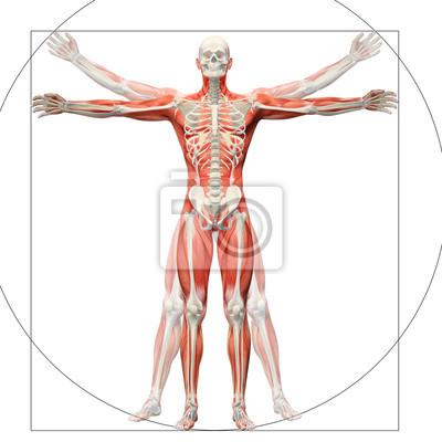 Beliebt Bevorzugt Anatomie des menschen angezeigt, wie der vitruvianische mensch @UQ_82
