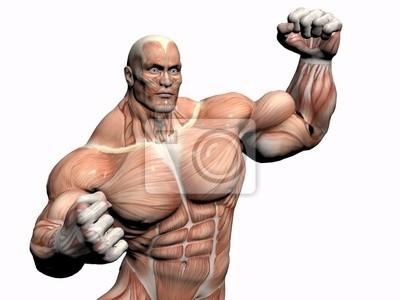 Anatomie des menschen, bodybuilder. leinwandbilder • bilder ...