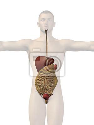 Anatomie des menschen körper organe leinwandbilder • bilder Anhang ...