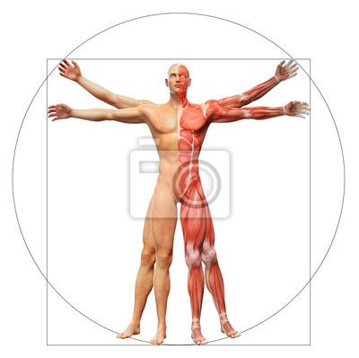 Anatomie des menschen wie der vitruvianische mensch von leonardo ...