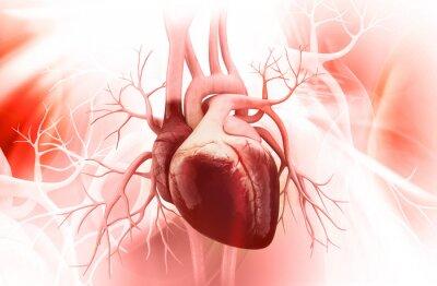 Bild Anatomie des menschlichen Herzens