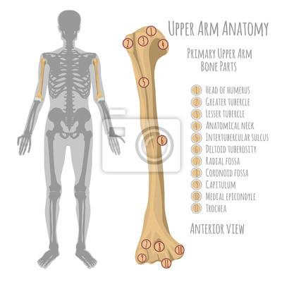Anatomie des menschlichen oberarms leinwandbilder • bilder Elle ...