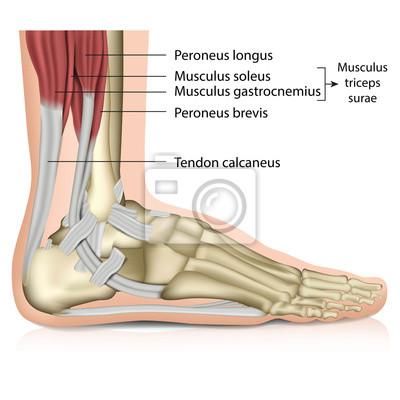 Anatomie fuß - muscles, perenoal anatomie leinwandbilder • bilder ...
