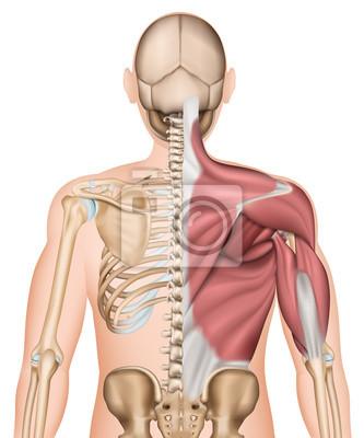 Anatomie illustration skelett rücken und rückenmuskeln unbeschriftet ...