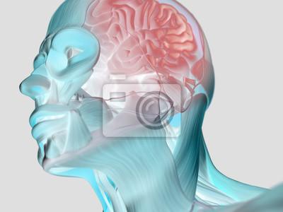 Anatomie kopf muskeln und gehirn. 3d abbildung. leinwandbilder ...