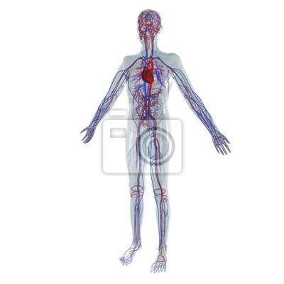Anatomie modell, herz-kreislauf-system des menschen leinwandbilder ...