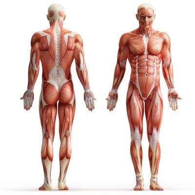 Bild Anatomie, Muskeln