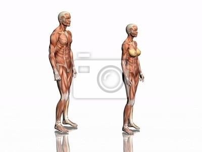 Anatomie von mann und frau. leinwandbilder • bilder körperlich ...