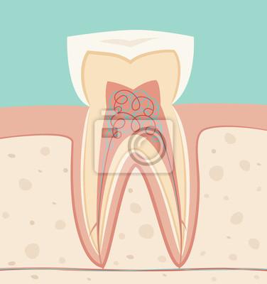 Anatomie zähne, gesunde weiße zähne vektor-illustration ...
