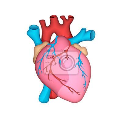 Anatomisch genaues menschliches herz. vektor-illustration ...
