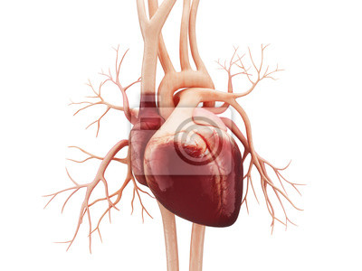 Bild Anatomy of Human Heart