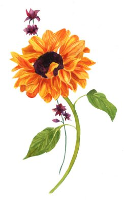 Bild Aquarell Zeichnung der goldenen Sonnenblume mit grünen Blättern auf weißem Hintergrund