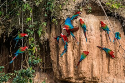 Bild Aras in Salzlecke in der peruanischen Amazonas-Dschungel in Madre de Di