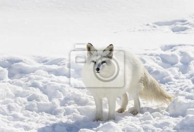 Arktischer Fuchs Stehend Im Schnee Im Winter Leinwandbilder Bilder