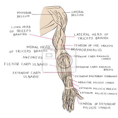 Arm muskeln farbe leinwandbilder • bilder Beugemuskel, carpi ...