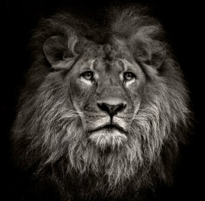 Bild arrogant Löwen