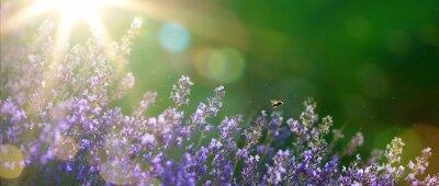 Bild art Sommer oder Frühling schöner Garten mit Lavendelblüten