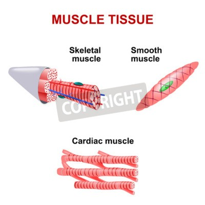 Arten von muskelgewebe. skelettmuskel, glatte muskulatur, herzmuskel ...